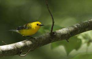 Prothonotary Warbler. Photo by Bill Hubick